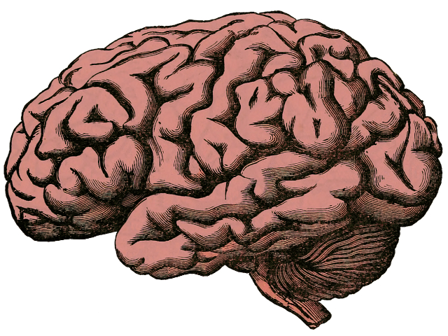 Brain Anatomy Human